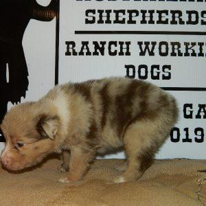 cheyenne pups 7-31-17 022