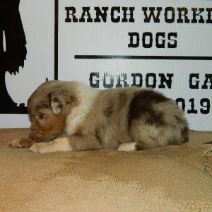 cheyenne pups 7-31-17 038