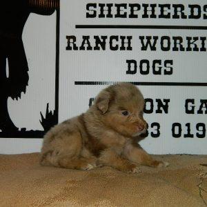 cheyenne pups 7-31-17 058