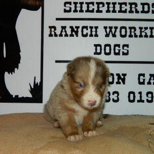 cheyenne pups 7-31-17 064