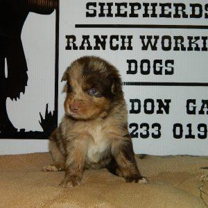 cheyenne pups 7-31-17 071