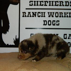 cheyenne pups 7-31-17 076