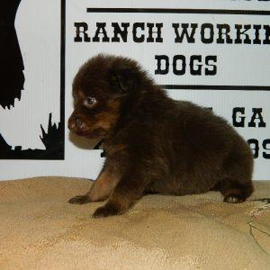 cheyenne pups 7-31-17 083