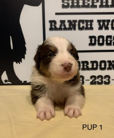 COWGIRL' S PUP 1 RED TRI FEMALE