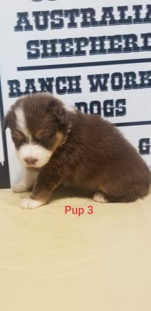 SCARLET PUP 3 MALE RED TRI